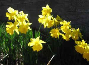 daffodils-in-febraury
