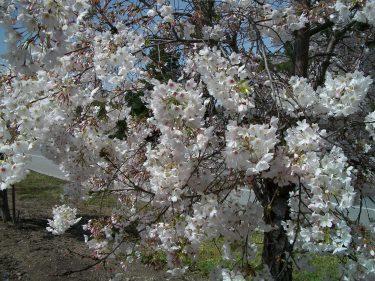 Closeup Blossoms