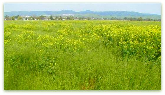 view-of-mustard-field-looking-east