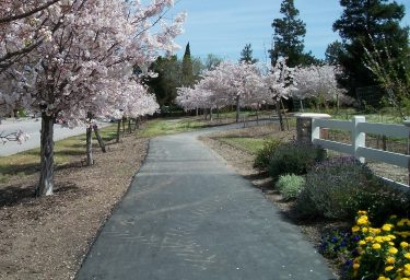 Row of blossoming trees