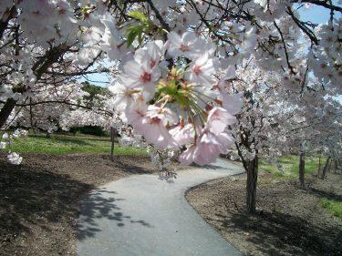 Walkway blossoms 1