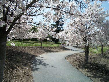 Walkway blossoms 2
