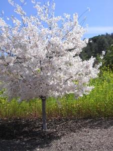 Fruit tree in bloom