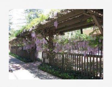Saratoga Oaks - wisteria in bloom by poolside