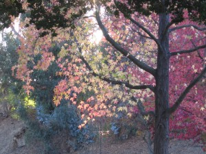 Brilliant Fall Leaves at Vasona