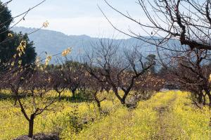 Orchard and Hills in Saratoga, California