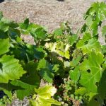 Ridge Vineyards June 21 2015 (6)