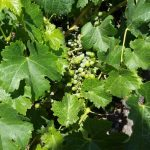 Guglielmo grape vine with tiny grapes