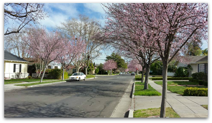 Hillmar Street Feb 14 2016 with trees in bloom