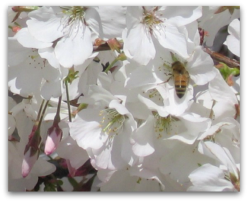 Blossom Festival - celebrating Saratoga's orchard history