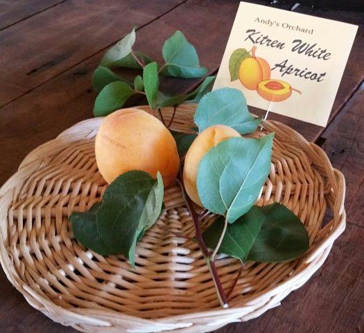Kitren White Apricot