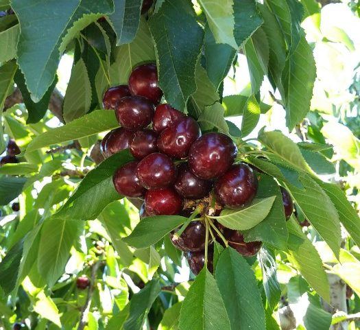 Cherries on the tree - an orchard full of many varieties