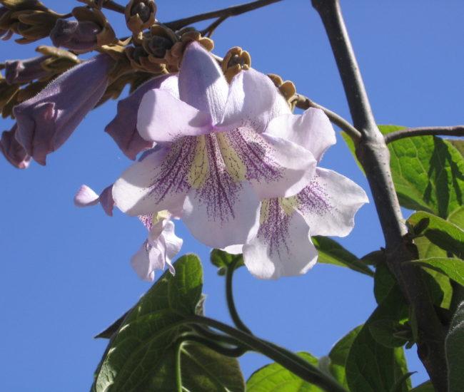 11 Flowering Tree