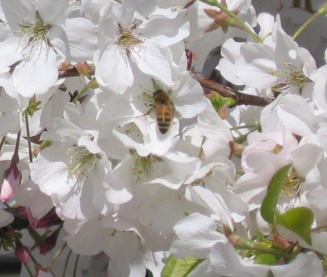 4 Bees humming closeup