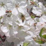 Bees humming closeup
