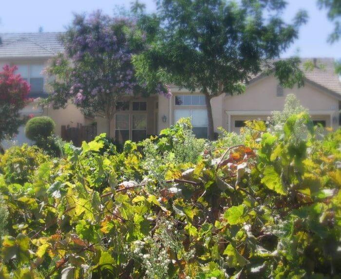 vineyard and homes at old Almaden Winery neighborhood in San Jose