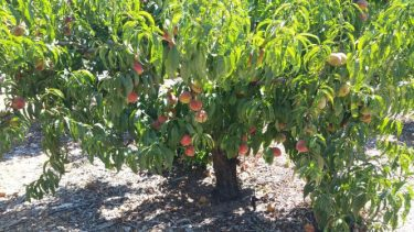 2019-8 peaches